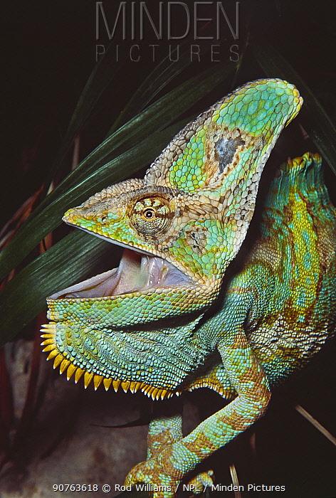 Yemen / Veiled / Casqued chameleon (Chamaeleo calyptratus) male close up with mouth open, Yemen. Captive.