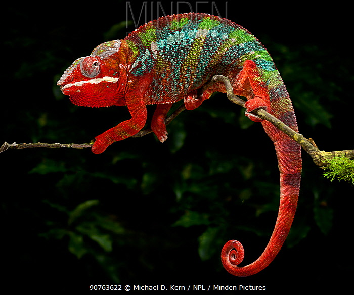 Panther chameleon (Furcifer pardalis) coloured red, blue and green, walking along branch, captive, from Madagascar
