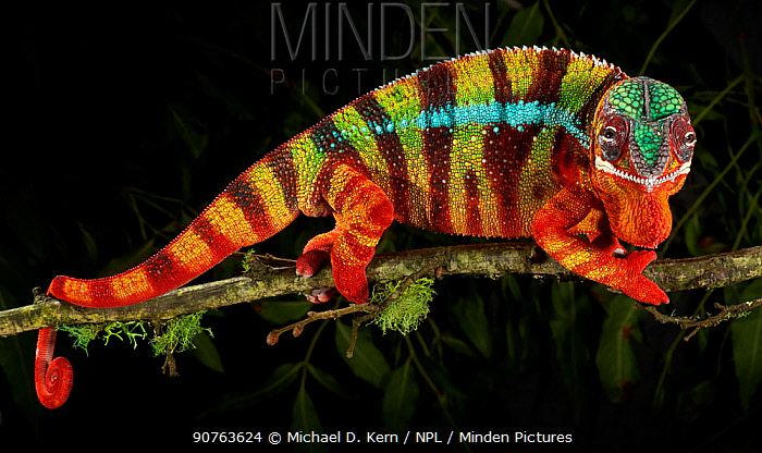 Panther chameleon (Furcifer pardalis) striped red, blue and brown, walking along branch, captive, from Madagascar
