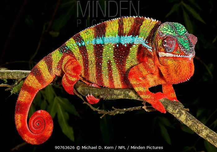 Panther chameleon (Furcifer pardalis) striped red, green and brown, on branch, captive, from Madagascar