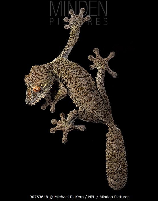 Leaf tailed gekco (Uroplatus fimbriatus) captive from Madagascar