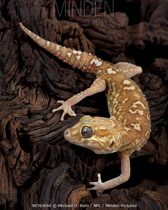 Madagascar Ground Gecko / Big headed gecko(Paroedura Pictus) captive, from Madagascar