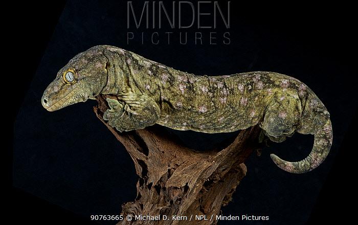 Leach's / New Caledonian Gecko (Rhacodactylus leachianus) captive from New Caledonia