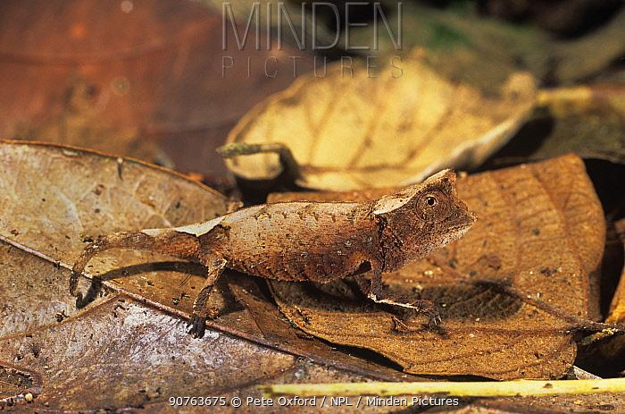 Iaraka leaf chameleon (Brookesia vadoni) on leaf litter displaying leaf mimicry, Marojejy Reserve, Madagascar