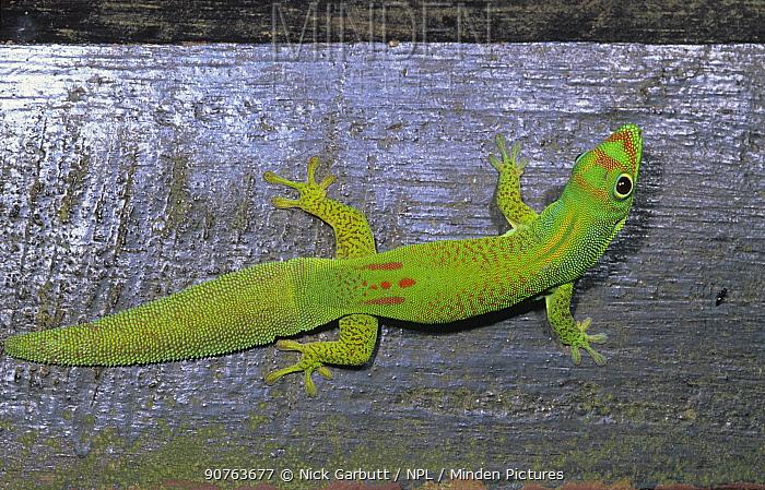 Flat-tailed gecko (Phelsuma serraticauda), Mananara Biosphere Reserve Reserve, Madagascar