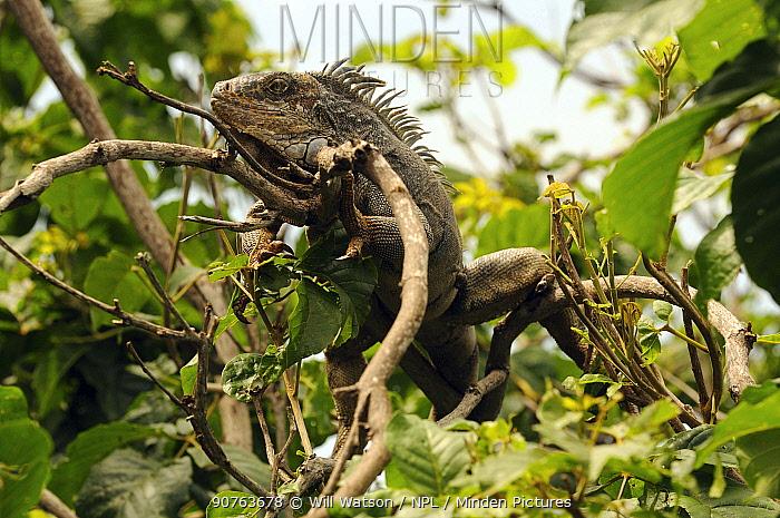Common/Green Iguana (Iguana iguana) resting on branch, Manabi Province, Ecuador.