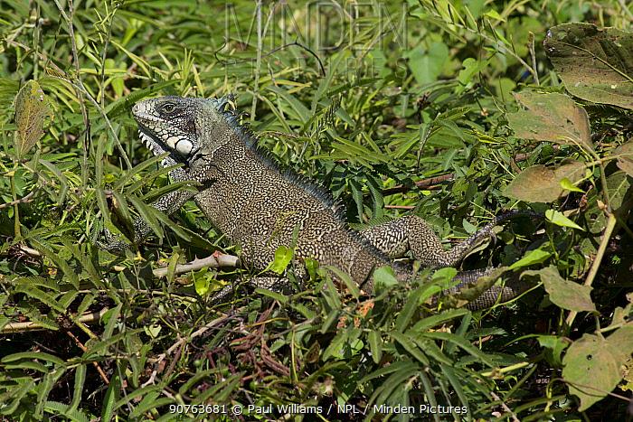 Common Iguana (Iguana iguana) Pantanal, Pocone, Brazil