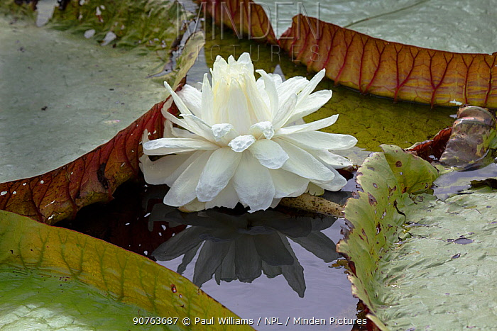 Giant water lily (Victoria cruziana) new flowers are white, Pantanal, Matogrossense National Park, Brazil