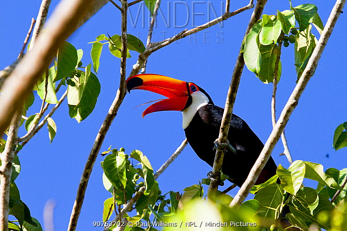 Toco toucan (Ramphastos toco) feeding, catching insects with bony tongue, Pantanal, Matogrossense National Park, Brazil