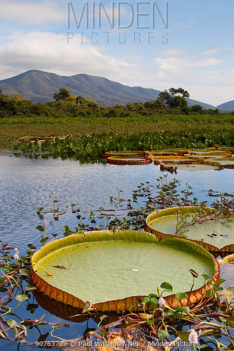 Giant water lily (Victoria cruziana) Pantanal, Matogrossense National Park, Amolar mountains in background, Brazil