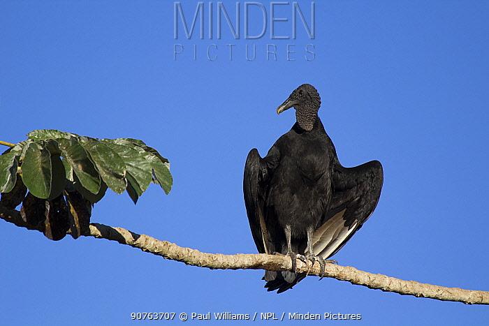 Black vulture (Coragyps atratus) sunning itself on branch, Pantanal, Matogrossense National Park, Brazil