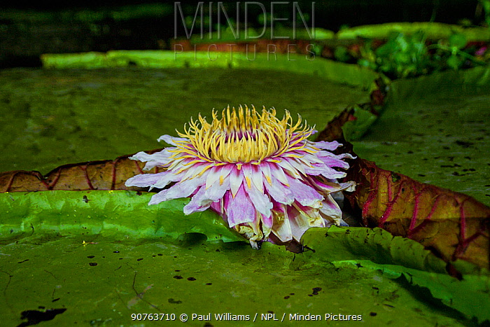 Giant water lily (Victoria cruziana) Pantanal, Matogrossense National Park, Brazil. Flowers open at night to attract beetles to pollinate them. The flower is 10c warmer than its surroundings, this helps its scent to radiate.