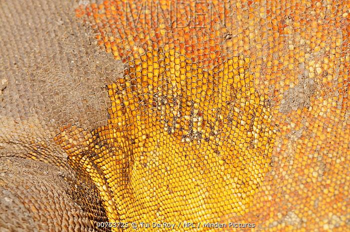 Galapagos land iguana (Conolophus subcristatus) skin and scales close-up. Isabela Island, Galapagos, Ecuador, June.