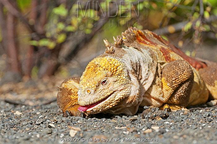 Galapagos land iguana (Conolophus subcristatus) cleaning its foot, Isabela Island, Galapagos, Ecuador, June.