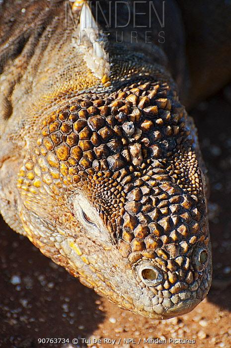 Galapagos land iguana (Conolophus subcristatus) portrait. Isabela Island, Galapagos, Ecuador, June.
