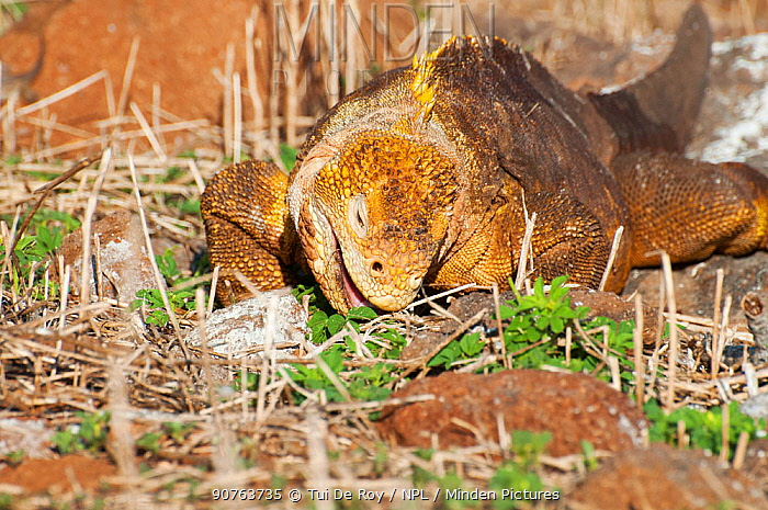 Galapagos land iguana (Conolophus subcristatus) feeding on ground vegetation. Isabela Island, Galapagos, Ecuador, June.