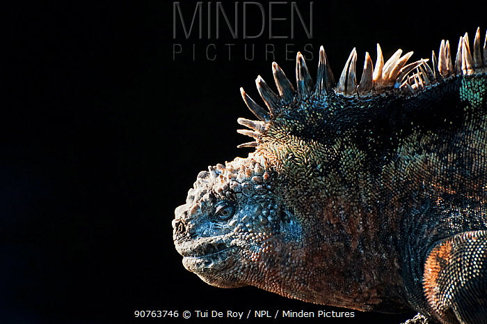 Marine iguana (Amblyrhynchus cristatus) in profile against dark background. Galapagos Islands, Ecuador, December.