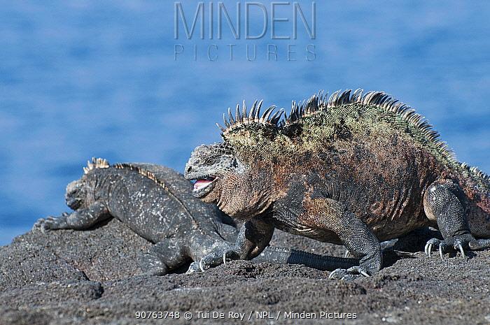 Marine iguana (Amblyrhynchus cristatus) basking on volcanic rocks. Galapagos Islands, Ecuador, December.