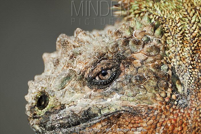 Marine iguana (Amblyrhynchus cristatus) portrait. Galapagos Islands, Ecuador, December.