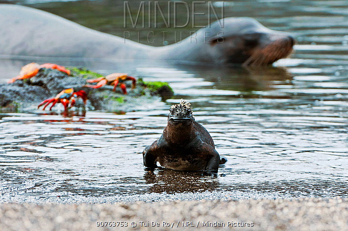 Marine iguana (Amblyrhynchus cristatus) emerging from sea onto beach, with Sally lightfoot crabs (Grasopus graspus) and Galapagos Fur Seal in background. Galapagos Islands, Ecuador, June.