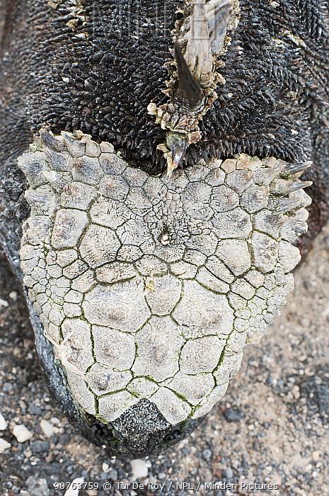 Marine iguana (Amblyrhynchus cristatus) crest and head-plate. Galapagos Islands, Ecuador, May.