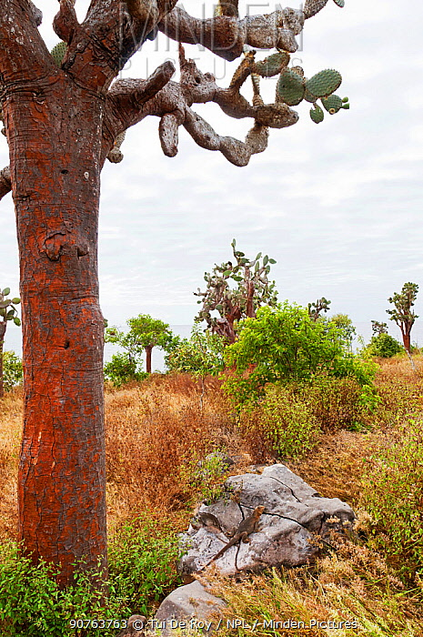 Santa Fe land iguana (Conolophus pallidus) on rock next to cactus, Santa fe Island, Galapagos