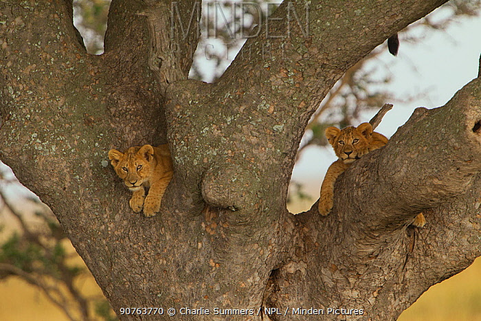 African lion (Panthera leo) two cubs in a Sausage tree (Kigalia africana), note mother's tail just above, Serengeti National Park, Tanzania