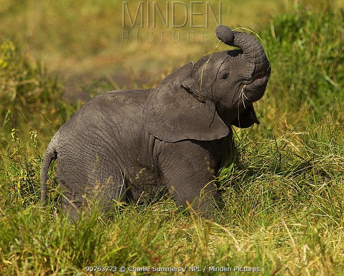 Elephant (Loxodonta africana) baby feeding on grass. Serengeti, Tanzania.