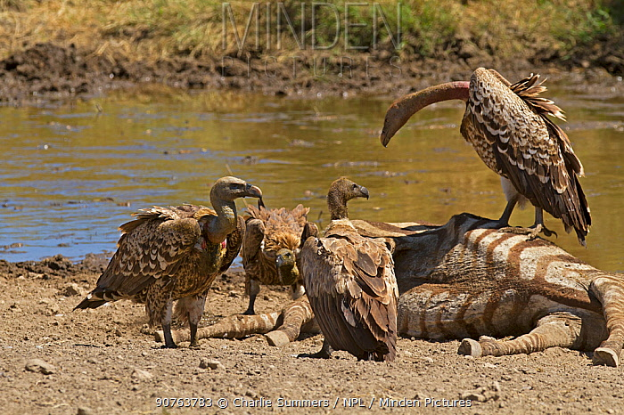 Ruppell's Griffon Vultures (Gyps rueppellii), on zebra carcass and in far left with two White-backed Vultures (Gyps africanus) at the front and back.  Serengeti, Tanzania.