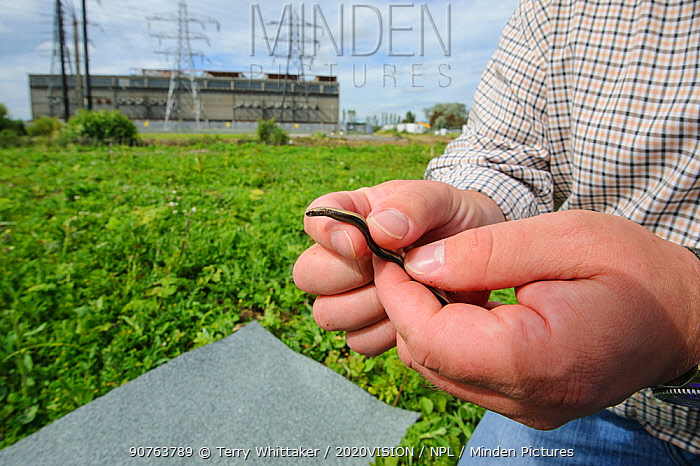 Slow worm (Anguis fragilis) being removed from brownfield site scheduled for development as part of mitigation project by Ecologist Brett Lewis. Kent, UK, June 2012.