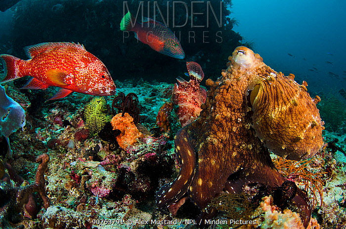 A common reef octopus (Octopus cyanea) foraging attracts several large reef fish, hoping to get an easy meal. Octopuses may try to hit fish with their arms to scare them off. Cannibal Rock, Sawu Sea, Rinca, Komodo National Park, Indonesia.
