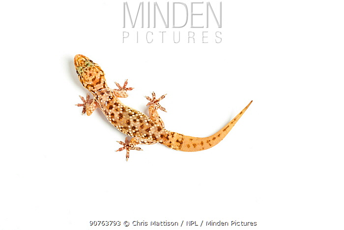 Turkish gecko (Hemidactylus turcicus), captive, occurs the Mediterranean, with re-grown tail.