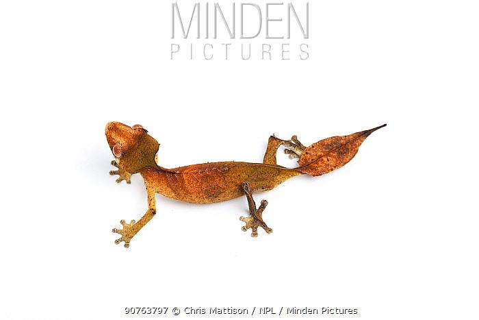 Satanic leaf-tailed gecko (Uroplatus phantasticus), captive, occurs Madagascar