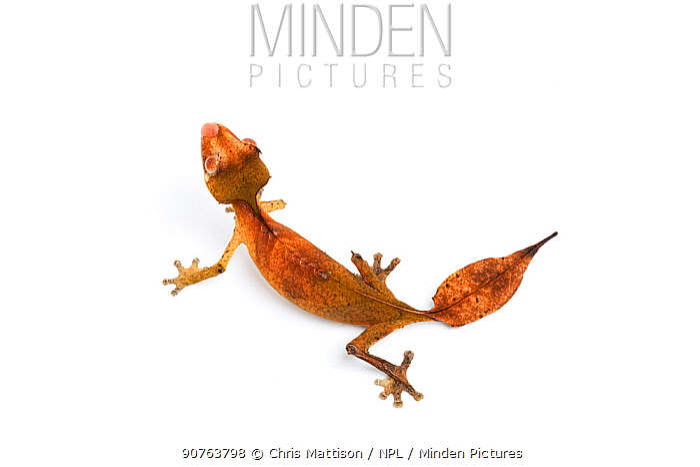 Satanic leaf-tailed gecko (Uroplatus phantasticus), captive, occurs Madagacar