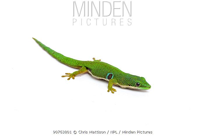 Peacock day Gecko (Phelsuma quadriocellata), captive, occurs Madagascar