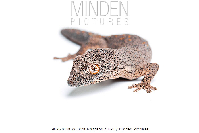 Eastern spiny-tailed gecko (Strophurus williamsi), captive, occurs Australia