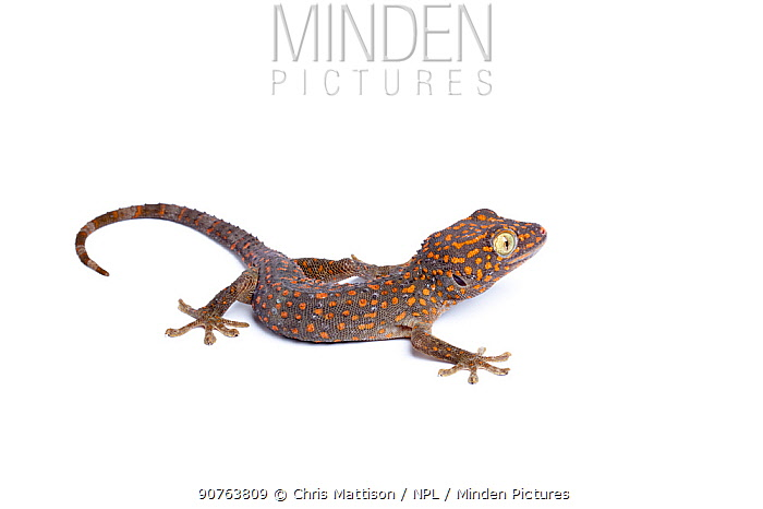 Tokay gecko (Gecko gekko), Captive from South East Asia
