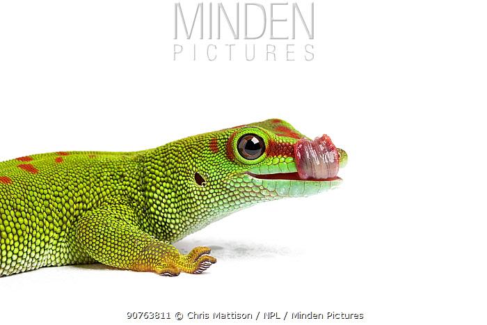 Giant day gecko (Phelsuma grandis), cleaning eye with tongue, captive, occurs Madagascar
