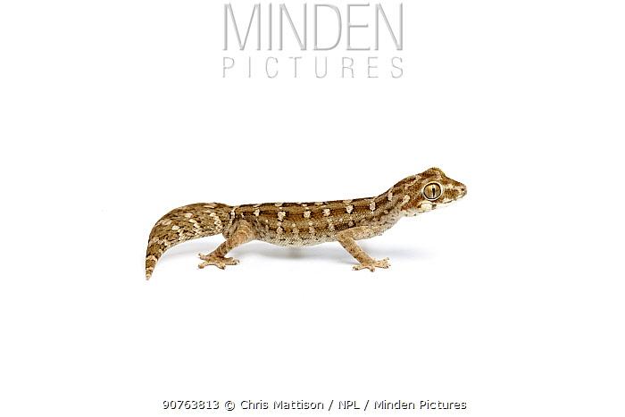 Carrot-tail viper gecko (Hemidactylus imbricata), captive, occurs India and Pakistan.