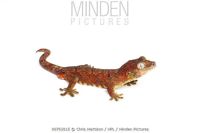 Bavay's Giant Gecko (Mniarogekko chahoua ), captive, occurs New Caledonia