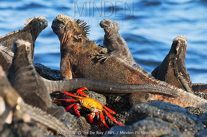 Marine iguana (Amblyrhynchus cristatus) with sally-lightfoot crab (Grapsus grapsus) which may clean skin of ticks and debris. Puerto Egas, James Bay, Santiago Island, Galapagos Islands, Ecuador, June.
