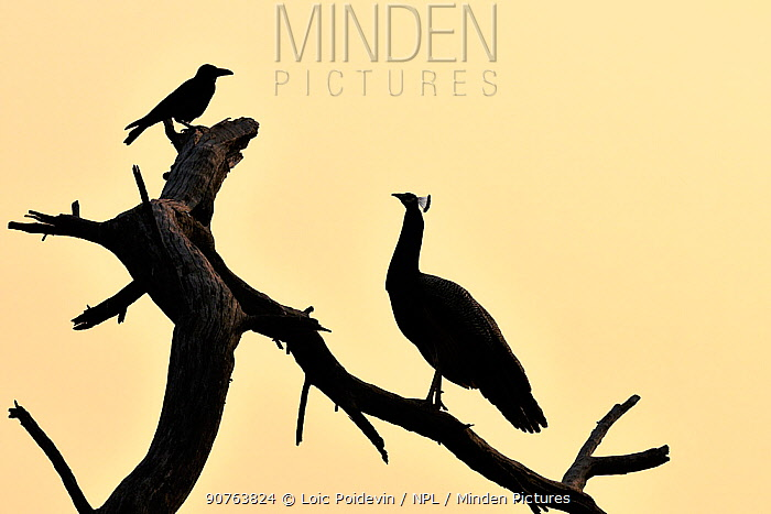 Common peafowl (Pavo cristatus) silhouetted at dawn, with House crow, Keoladeo Ghana National Park, Bharatpur, Rajasthan, India, March