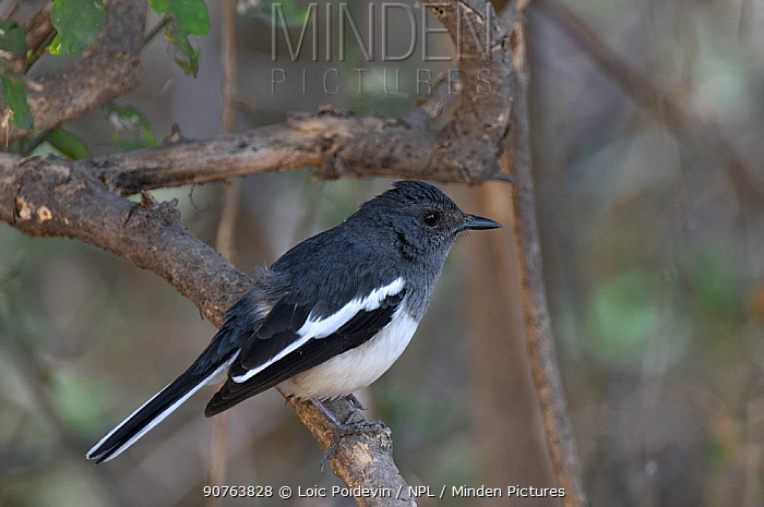 Oriental magpie robin (Copsychus saularis) Keoladeo Ghana National Park, Bharatpur, Rajasthan, India, March