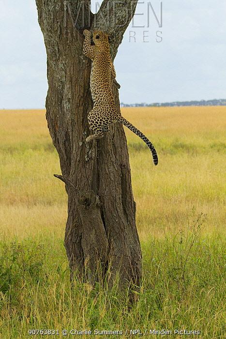 Leopard (Panthera pardus) climbing straight up a tree, Serengeti National Park, Tanzania