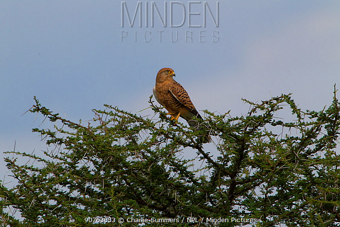 Greater kestrel (Falco rupicoloides) perched in the top of a thorn bush, Serengeti National Park, Tanzania, March