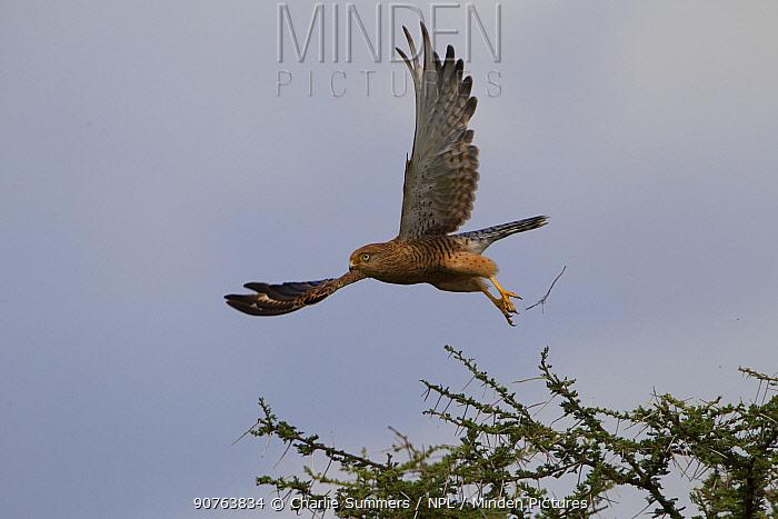 Greater kestrel (Falco rupicoloides) taking off, Serengeti National Park, Tanzania, March