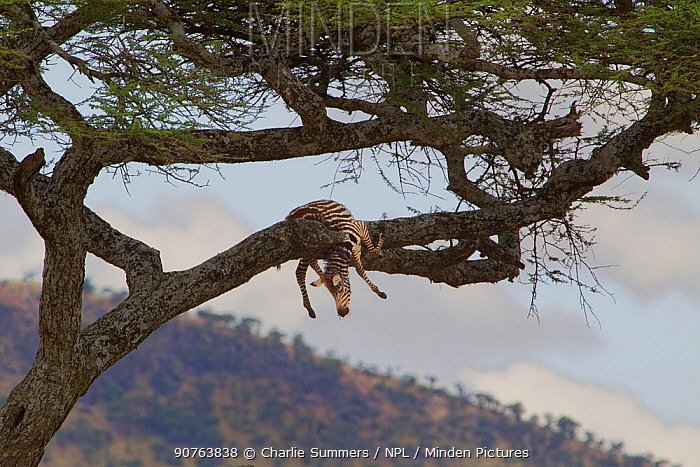 Plains zebra (Equus quagga) dead colt hung in Acacia tree by a Leopard (Panthera pardus). The Leopard was resting at the base of the tree. Serengeti National Park, Tanzania