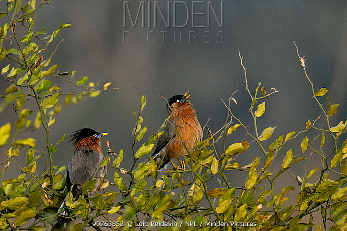 Black headed starlings (Sturnus pagodarum) singing in bush, Keoladeo Ghana National Park, Bharatpur, Rajasthan, India, March