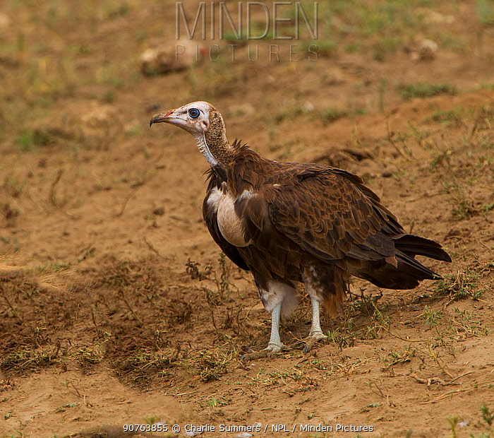 Hooded vulture (Necrosyrtes monachus) cautiously approaches an unseen carcass, Serengeti National Park, Tanzania, East Africa, March