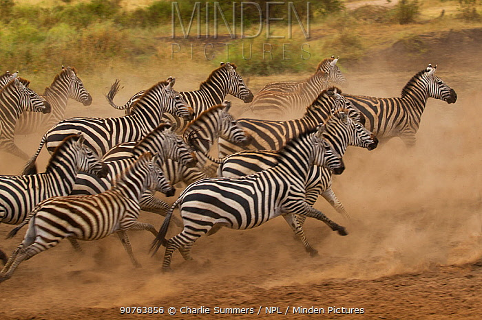 Plains zebra (Equus quagga) scatter after being spooked at a waterhole, Serengeti National Park, Tanzania
